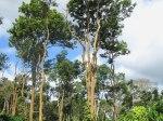 Rosewood-Tree3